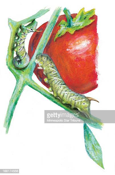 Eddie Thomas color illustration of a tomato hornworm