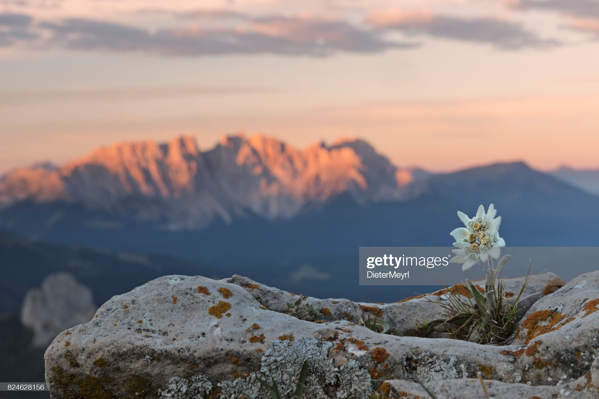Edelweiss at sunrise with Dolomites in background : Foto stock
