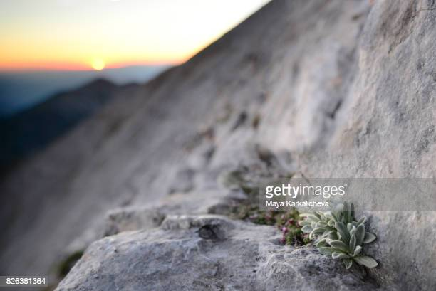 Edelweiss flowers at sunset