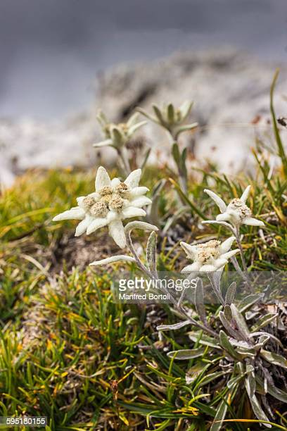 Edelweiss flowers in Dolomites mountains