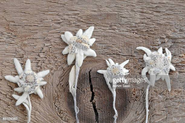 Edelweiss flowers (Leontopodium alpinum) on wood, close-up