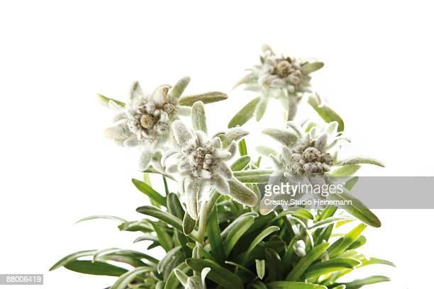 Edelweiss flowers (Leontopodium alpinum)