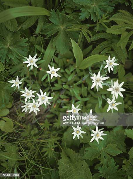 Edelweiss flowers, Rebun Island, Hokkaido, Japan