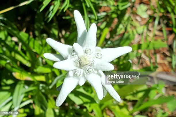 Edelweiss in the Austrian alps