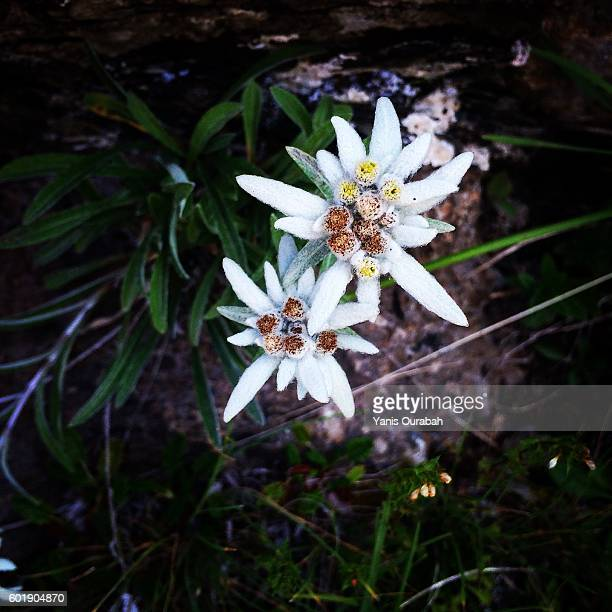 Edelweiss in the French Alps