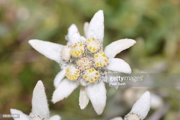 Edelweiss -Leontopodium nivale-, Tyrol, Austria