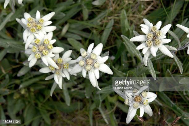 Edelweiss (Leontopodium)