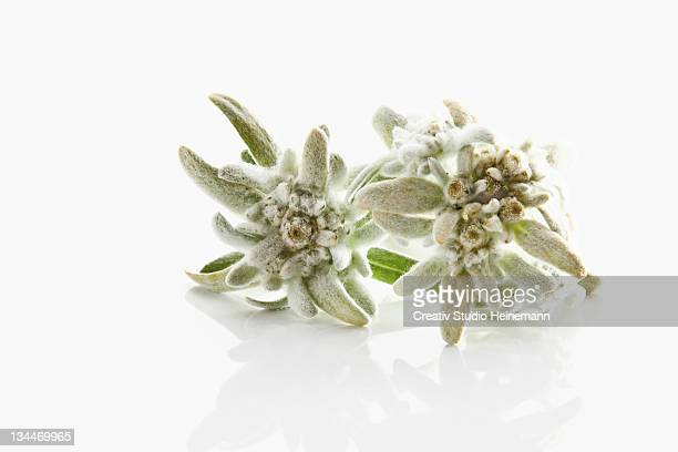 Edelweiss (Leontopodium alpinum nivale subsp. Alpinum Basionym Leontopodium)