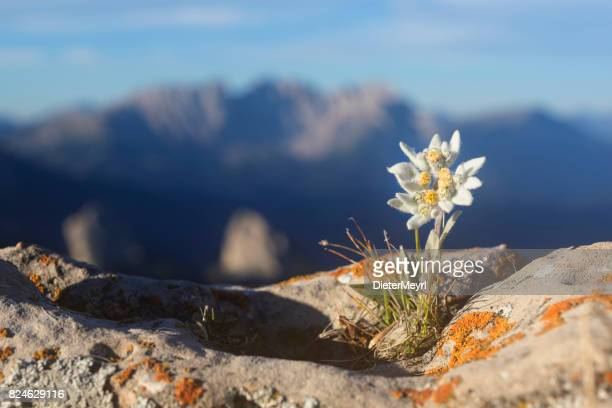 edelweiss with mountain in background - alps - flower head stock pictures, royalty-free photos & images