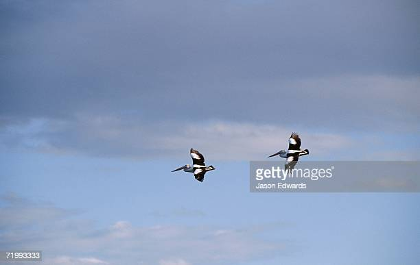 Eden, New South Wales, Australia. A pair of Australian pelicans in an elegant flight formation.