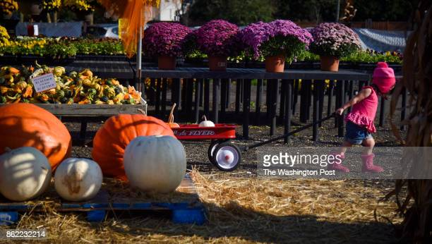 Eden Weckstein of Sterling VA plays among the pumpkins at Reston Farm Market on Sunday October 15 in Reston VA The day has been unseasonably warm in...