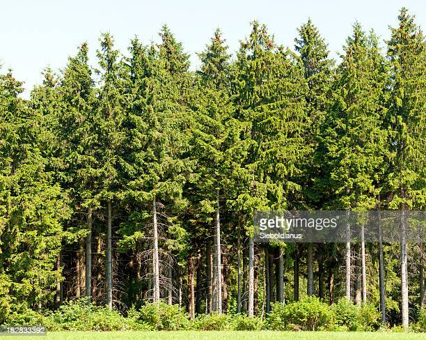 Rand des spruce Holz im Sommer.