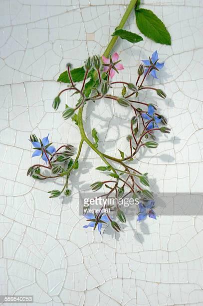 Edible blossoms of borage