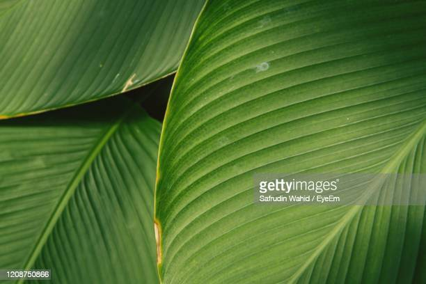 edible canna leaf pattern and texture. full frame shot of palm leaves - canna lily stock pictures, royalty-free photos & images