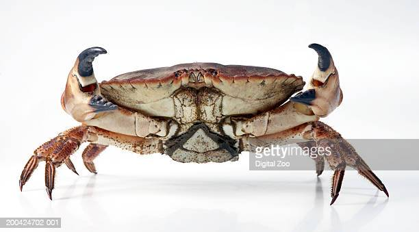 Edible crab (Cancer pagurus), close-up