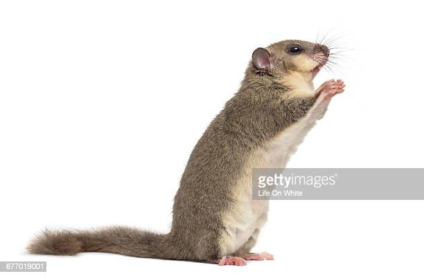 edible dormouse begging on hing legs - ghiro foto e immagini stock