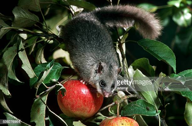 Edible dormouse / fat dormouse eating apple in tree at night in orchard