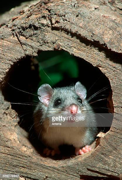 Edible dormouse / fat dormouse in hollow tree at night in forest