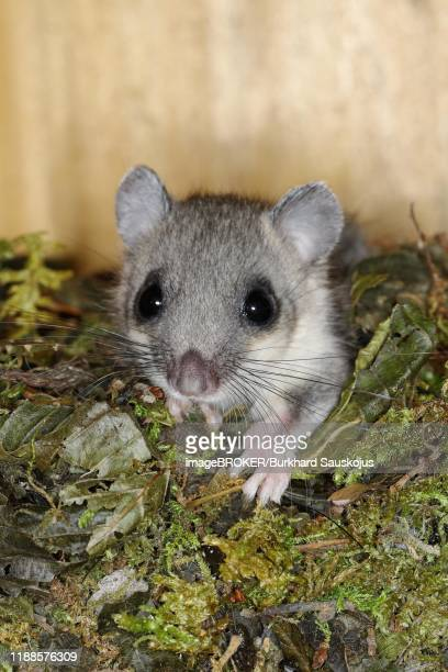 edible dormouse (glis glis) looks out of his nest, siegerland, north rhine-westphalia, germany - ghiro foto e immagini stock