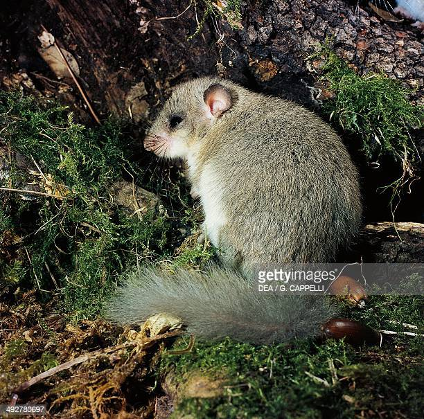 Edible dormouse or Fat dormouse Gliridae