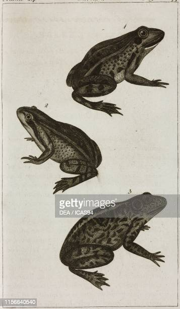 1 Edible frog 2 Red Frog 3 Bullfrog engraving by Giovanni Antonio Sasso from Le opere di Buffon by GeorgesLouis Leclerc de Buffon and Bernard Germain...