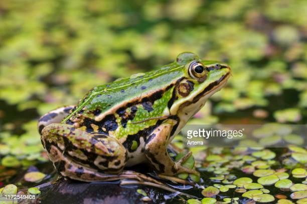 Edible frog / common water frog / green frog in pond among duckweed