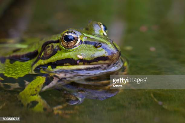 Edible frog / common water frog / green frog in pond