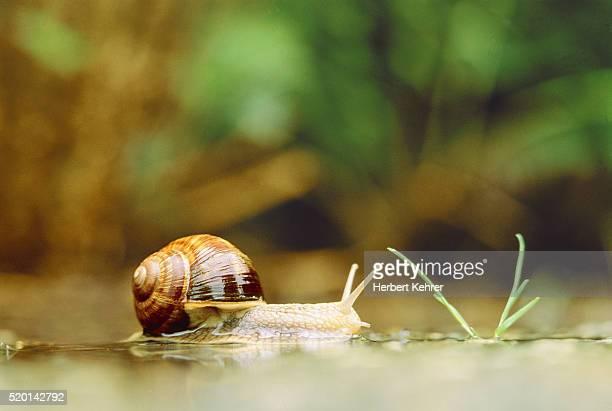 edible snail - garden snail stock photos and pictures