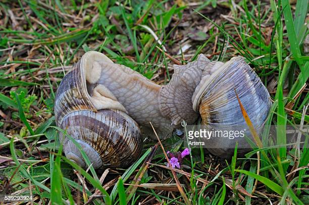 Edible snails / Burgundy snail / Roman snail mating in meadow Belgium