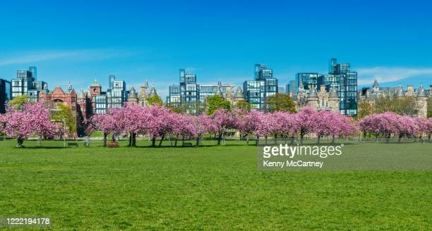 edinburgh - the meadows cherry blossoms - cherry blossom stock pictures, royalty-free photos & images