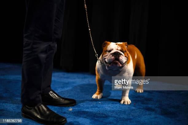 Eduardo Paris a native of Peru waits backstage before winning Best in Show with his Bulldog named Thor at the Greater Philadelphia Expo Center on...