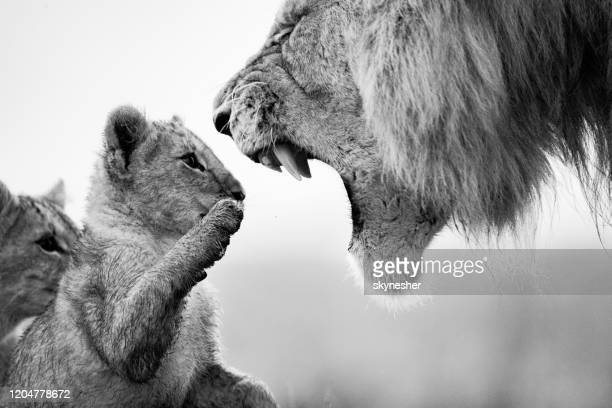 educating the future lion king! - lion cub stock pictures, royalty-free photos & images