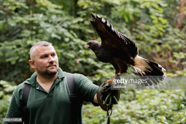 educational demonstration at a falconry - zoology stock pictures, royalty-free photos & images