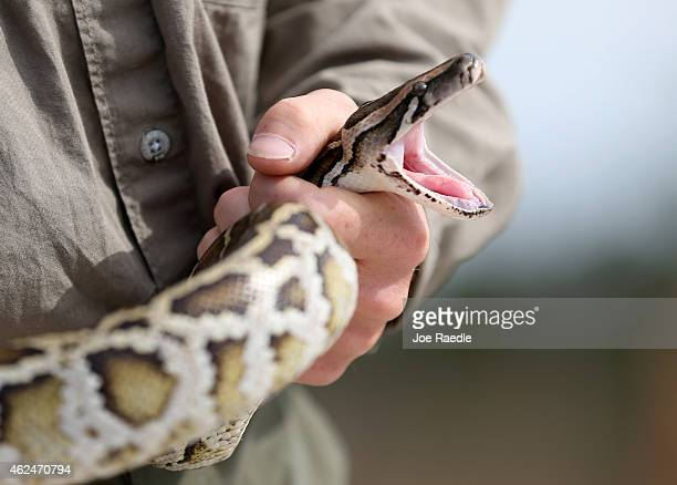 Edward Mercer a Florida Fish and Wildlife Conservation Commission nonnative Wildlife Technician holds a Burmese Python during a press conference in...