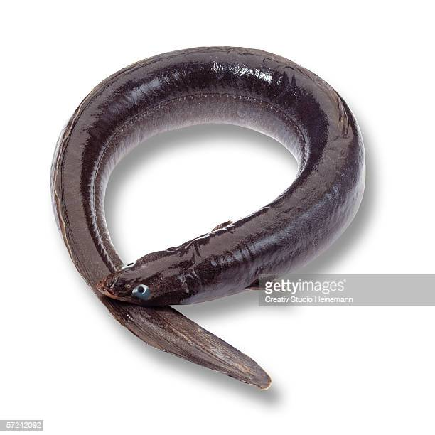 Eel (Anguilliformes), elevated view
