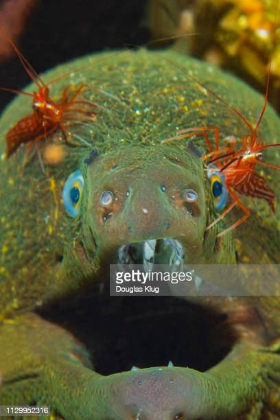 eel8jun29-18 - shrimps stock pictures, royalty-free photos & images