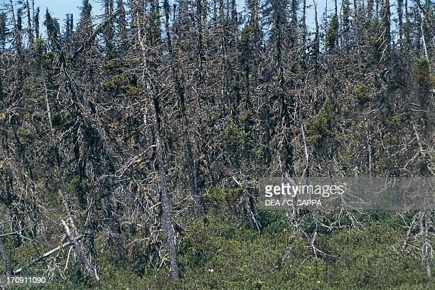 Effects of acid rain on vegetation, Terra Nova National Park, Canada.