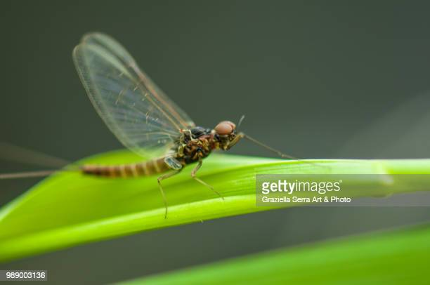 efhemera danica - mayfly stock pictures, royalty-free photos & images