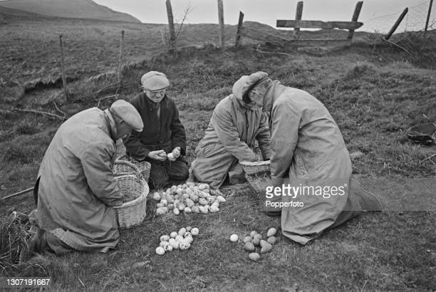 Egg collectors Henry Chandler, David Cross, George and William Hodgson share out their haul of guillemot, puffin and seagull eggs taken from nests on...