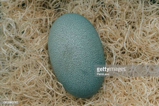 egg of cassowary bird - emu farming stock pictures, royalty-free photos & images