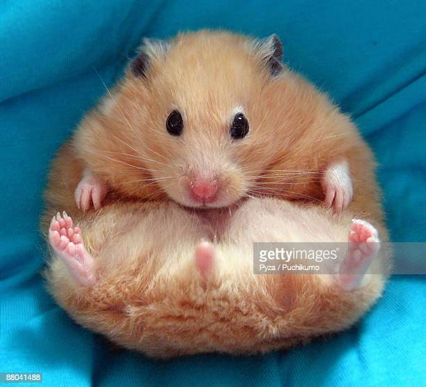 egg shaped syrian hamster - hamster photos et images de collection