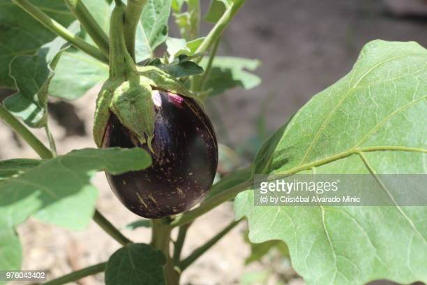 Eggplant Growing On Plant