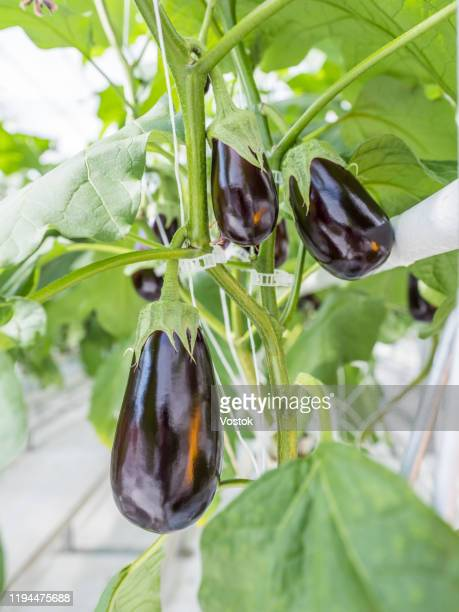 eggplant grown in a greenhouse - eggplant stock pictures, royalty-free photos & images