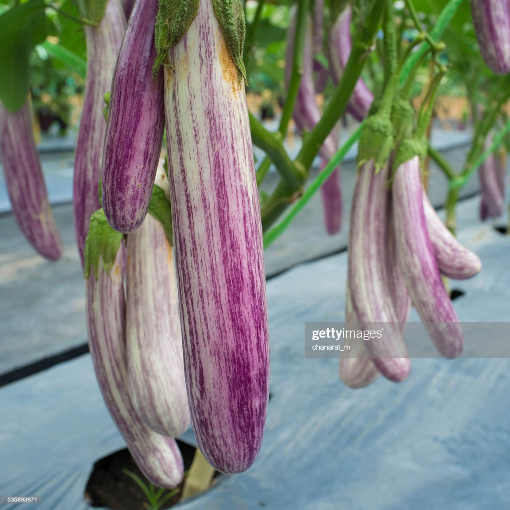 Eggplant in the garden : Stock Photo