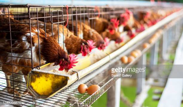 eggs chickens in cages industrial farm - factory stock pictures, royalty-free photos & images