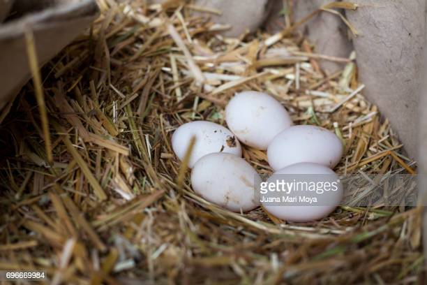 Eggs of hen in a nest