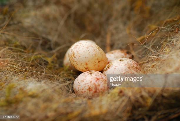 uova di cinciallegra - cinciallegra foto e immagini stock