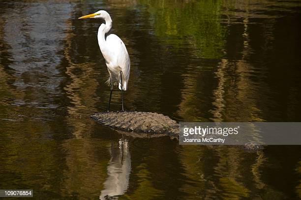 Egret bird and alligator