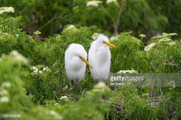 egret couple - ian gwinn stock pictures, royalty-free photos & images