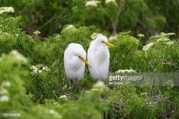egret couple - ian gwinn photos et images de collection